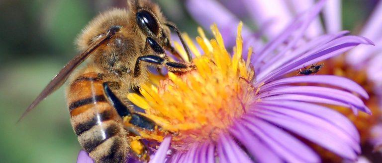 A European honey bee extracting nectar.