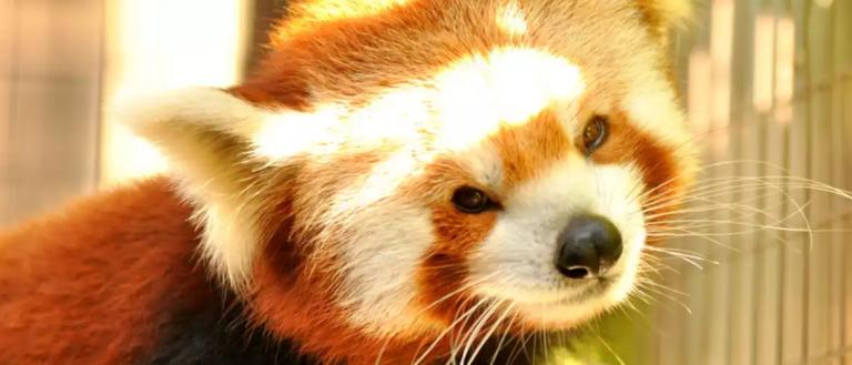 A red panda at Greenville Zoo.