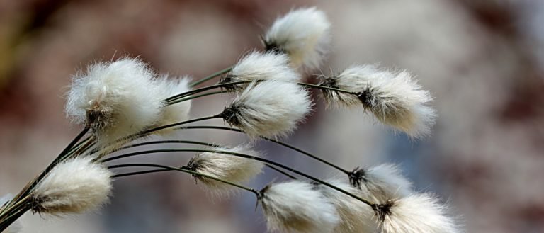 Cogongrass floating in the wind.