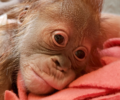 The female baby orangutan at the Greenville Zoo.
