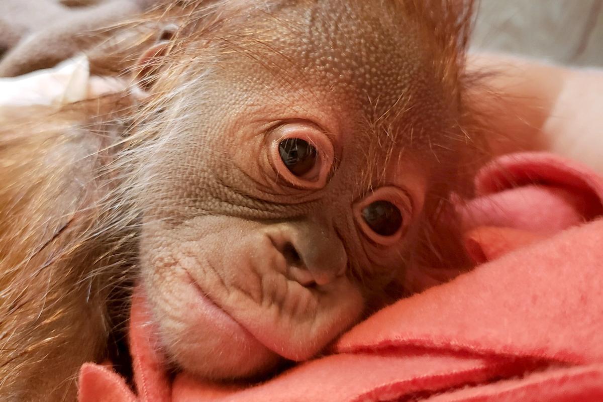 The female baby orangutan at the Greenville Zoo.