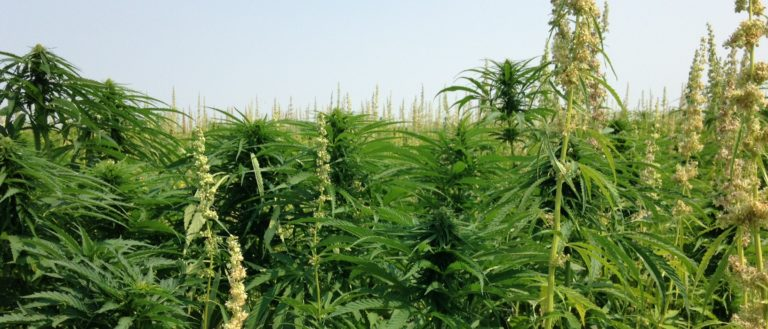 A lush green field of industrial hemp.