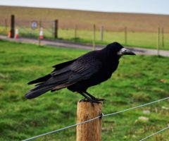 A black bird perched on a wooden fence post.