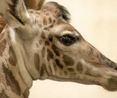 Autumn the giraffe at Greenville Zoo.