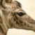 Greenville Zoo Announces Giraffe Pregnancy